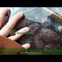 Medjool pioneer palestine jumbo 5kg GK 23